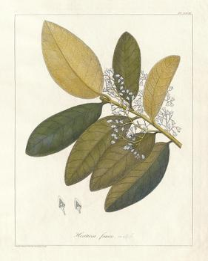 Botanical Heritiera v2 by Wild Apple Portfolio