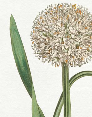 Botanique Blue II on White No Words by Wild Apple Portfolio