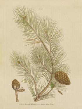 Herbal Botanical XIII by Wild Apple Portfolio