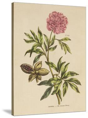 Herbal Botanical Xxiv by Wild Apple Portfolio