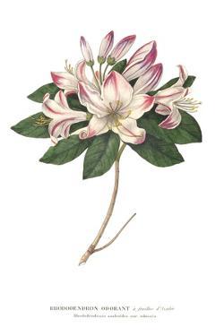 Rhododendron Bright by Wild Apple Portfolio