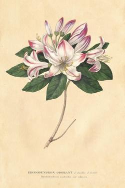 Rhododendron Vintage by Wild Apple Portfolio