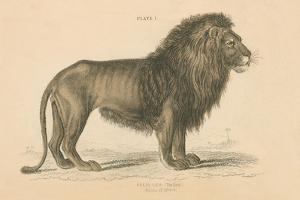 Vintage Lion by Wild Apple Portfolio