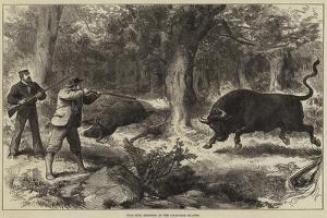Wild Bull Shooting in the Galapagos Islands