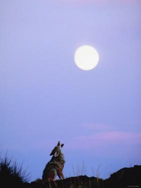 Wild Coyote Sitting in Nature and Howling at Full Moon