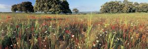 Wild Flowers in a Field, Andalucia, Spain