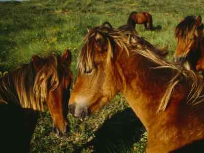 Wild Horses on Sable Island Originally Owned by Acadians Who were Forcibly Moved from Nova Scotia