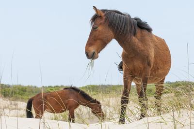 https://imgc.allpostersimages.com/img/posters/wild-mustangs-banker-horses-equus-ferus-caballus-in-currituck-national-wildlife-refuge_u-L-PWFF370.jpg?p=0