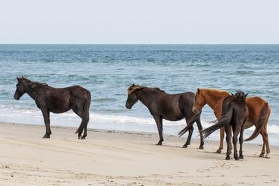 https://imgc.allpostersimages.com/img/posters/wild-mustangs-banker-horses-equus-ferus-caballus-in-currituck-national-wildlife-refuge_u-L-PWFF3J0.jpg?p=0