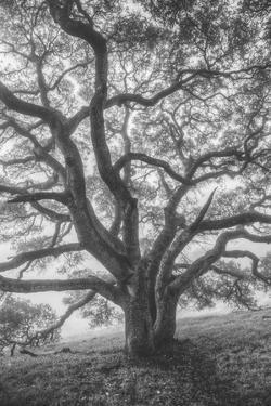 Wild Oak Tree in Black and White Portait, Petaluma, California