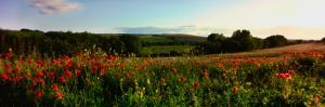 Wild poppies growing in a field, Wylye Valley, Stapleford, Wiltshire, England