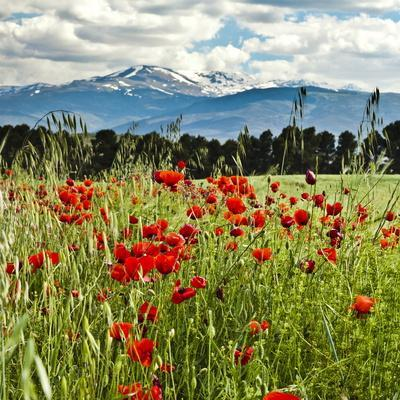 https://imgc.allpostersimages.com/img/posters/wild-poppies-papaver-rhoeas-and-wild-grasses-with-sierra-nevada-mountains-andalucia-spain_u-L-PHCJ480.jpg?p=0