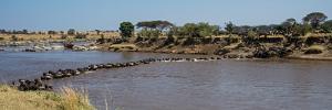Wildebeests (Connochaetes Taurinus) Crossing a River, Serengeti National Park, Tanzania
