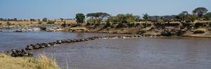Wildebeests (Connochaetes Taurinus) Crossing a River, Serengeti National Park, Tanzania