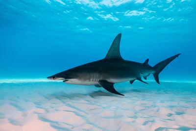 Great Hammerhead Shark Underwater View at Bimini in the Bahamas by Wildestanimal