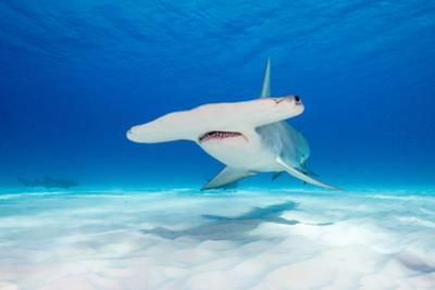 Great Hammerhead Shark Underwater View at Bimini in the Bahamas by Wildestanimal