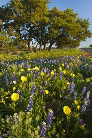 https://imgc.allpostersimages.com/img/posters/wildflowers-and-live-oak-in-texas-hill-country-texas-usa_u-L-PN71570.jpg?artPerspective=n