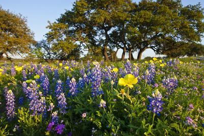 https://imgc.allpostersimages.com/img/posters/wildflowers-and-live-oak-in-texas-hill-country-texas-usa_u-L-PN715M0.jpg?p=0