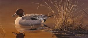 Amber Light - Pintail by Wilhelm Goebel