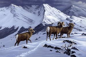 High Country Rams by Wilhelm Goebel