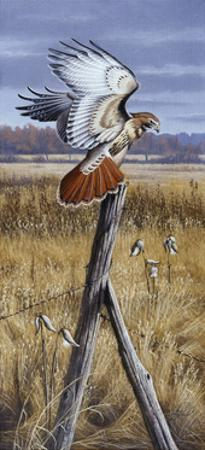 The Corner Post - Red Tailed Hawk