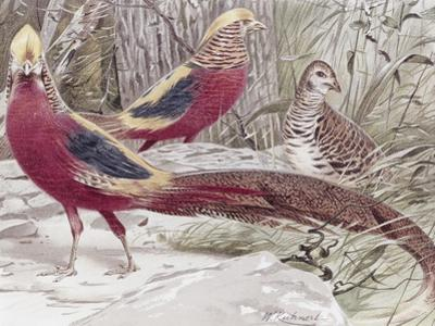 Gold Pheasant by Wilhelm Kuhnert