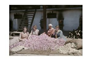 Bulgarian Women Seated around a Pile of Rose Petals for Distillation by Wilhelm Tobien