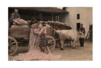 Bulgarians Unload Roses for Distillation from Sacks on Ox Cart