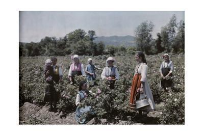 Peasants Stand in Fields Where World-Famous Rose Oil Is Cultivated
