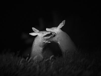 Aardvarks greeting each other at night, Makgadikgadi Pans, Botswana.