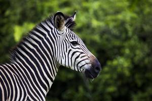 Crawshay'S Zebra (Equus Quagga Crawshayi) Profile, South Luangwa National Park, Zambia. January by Will Burrard-Lucas