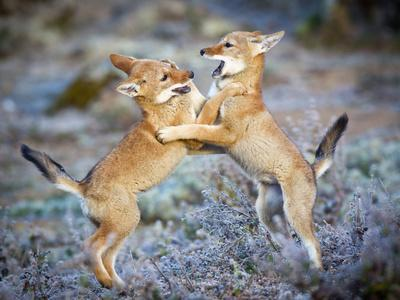 Ethiopian Wolf (Canis Simensis) Five Month Cubs Playing, Bale Mountains National Park, Ethiopia