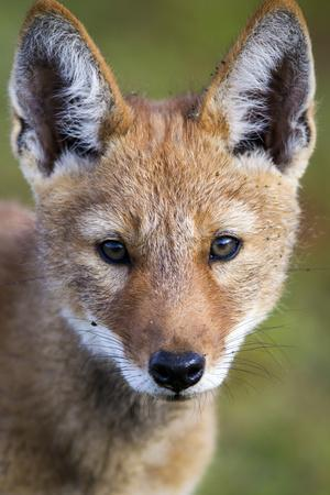 Ethiopian Wolf (Canis Simensis) Portrait Of Pup, Bale Mountains National Park, Ethiopia