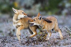 Ethiopian Wolf (Canis Simensis) Pups Playing, Bale Mountains National Park, Ethiopia by Will Burrard-Lucas