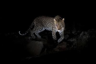 Male leopard, Laikipia Wilderness Camp, Kenya