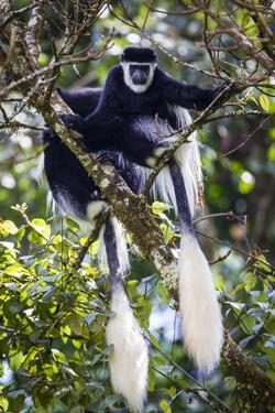 Mantled Guereza (Colobus Guereza) Monkeys In The Harenna Forest. Bale Mountains National Park by Will Burrard-Lucas