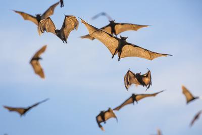 Mass Of Straw-Coloured Fruit Bat (Eidolon Helvum) In Flight, Kasanka National Park, Zambia