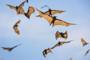 Mass Of Straw-Coloured Fruit Bat (Eidolon Helvum) In Flight, Kasanka National Park, Zambia by Will Burrard-Lucas