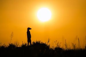 Meerkat (Suricata Suricatta) Standing Alert On Hind Legs At Sunset, Makgadikgadi Pans, Botswana by Will Burrard-Lucas