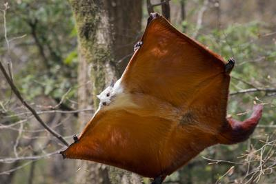 Red And White Giant Flying Squirrel (Petaurista Alborufus) Gliding