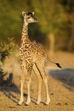 Rhodesian - Thornicroft Giraffe (Giraffa Camelopardalis Thornicrofti) Baby