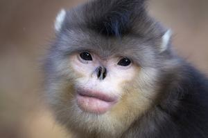 Yunnan Snub-Nosed Monkey (Rhinopithecus Bieti) Portrait, Yunnan Province, China by Will Burrard-Lucas