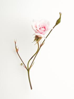 Pink Rose by Will Wilkinson