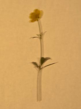 Single Flower on Tan Background by Will Wilkinson