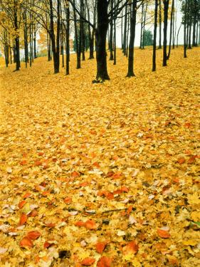 Leaves in Fall Colour on Forest Floor, Pere Marquette State Park by Willard Clay