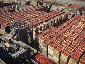 Italian Pear Tomatoes on Conveyor Belts Waiting to Be Canned by Willard Culver