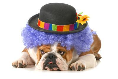 Funny Dog - English Bulldog Dressed Up Like A Clown Isolated On White Background by Willee Cole