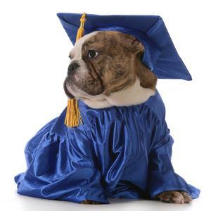 Pet Graduation - English Bulldog Wearing Graduate Costume by Willee Cole