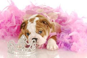Spoiled Dog - English Bulldog Puppy Chewing On Tiara Surrounded By Pink Feathers by Willee Cole