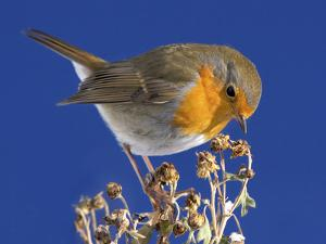 Robin in Front of a Blue Sky by Willi Schmitz